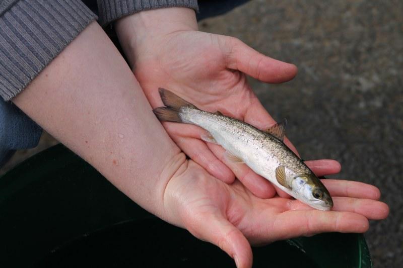 einjähriger Lachs (smalt)