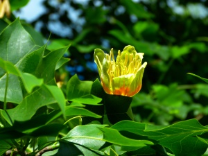 blühender Ahornbaum