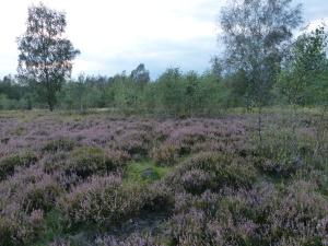 die Heide blüht ab Ende August