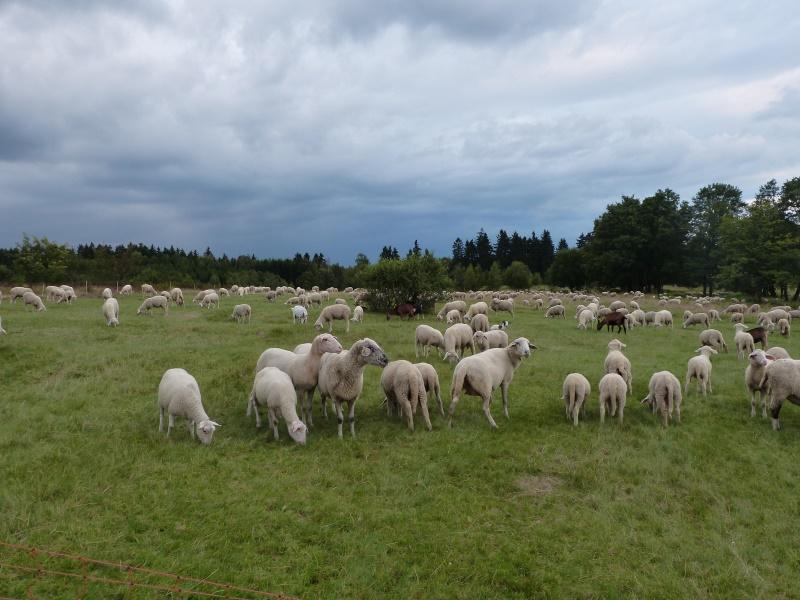 einige Ziegen begleiten die Schafherde