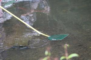 Schwachstrom-Kescher bringen diie Fische kurzfristig an die Oberfläche