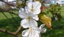 Kirschblüten am Siegufer