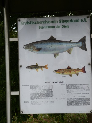 Leitfischarten sind der Lachs und die Äsche