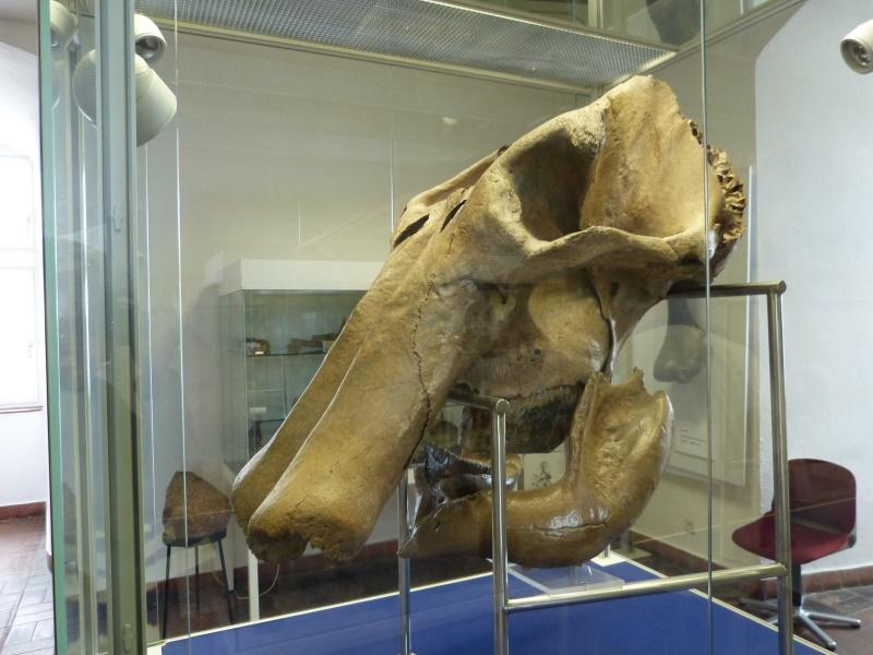 Mammutschädel aus der nahen Rheinaue